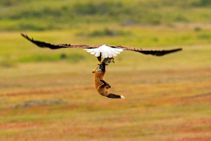 Photographer Shoots Epic Battle Between Fox And Eagle Over Rabbit, And It Gets More And More Epic With Each Photo (13 Pics)