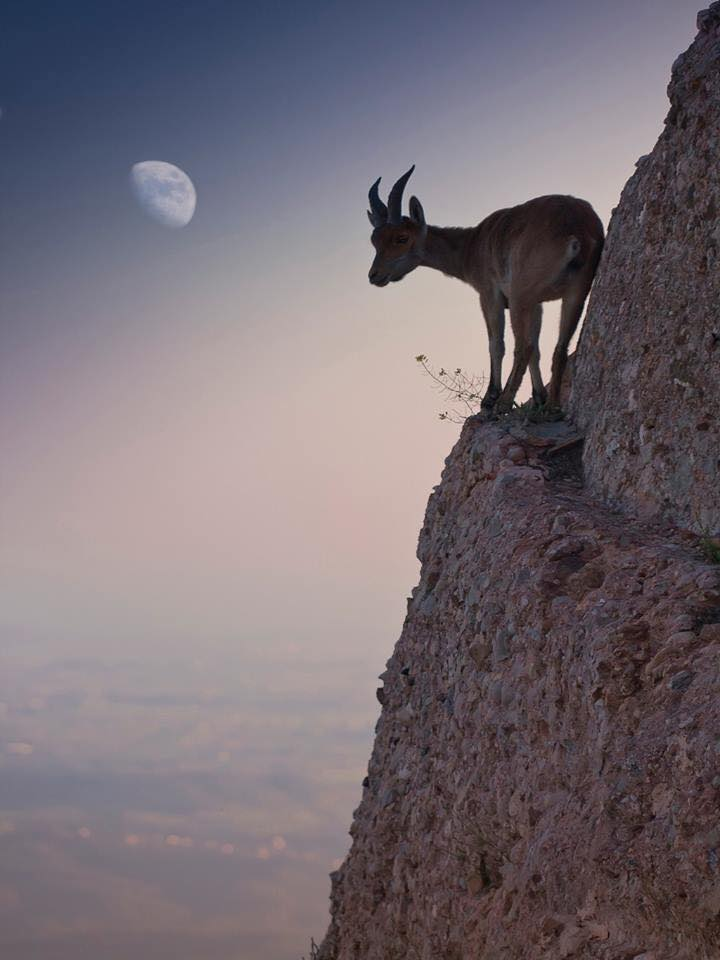 Mountain Goats - Fantastic Rock Climbers, They Defy Gravity (14 Pics)