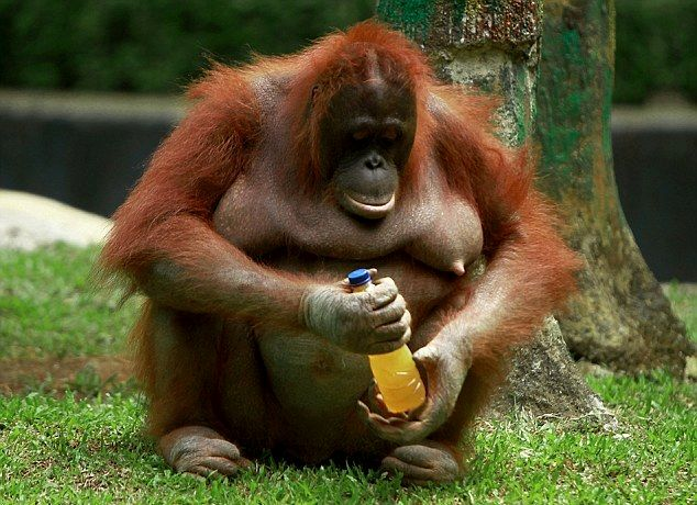 Weird and wonderful Orangutans ( 5 - Pictures)