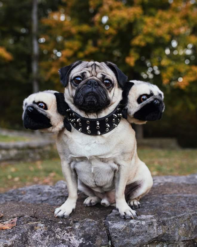 Brilliant DIY Three-Headed Dog Halloween Costumes (25 Pics)