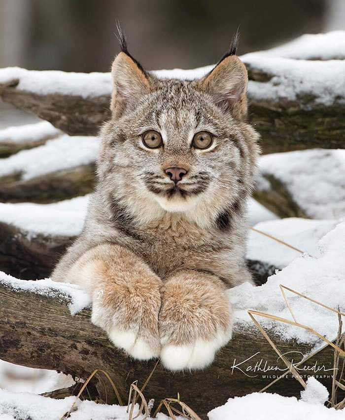 The Canada Lynx Cat (20 Pics)