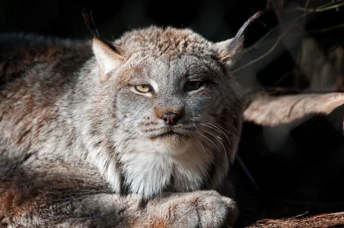 The Canada Lynx Cat (20 Pics)