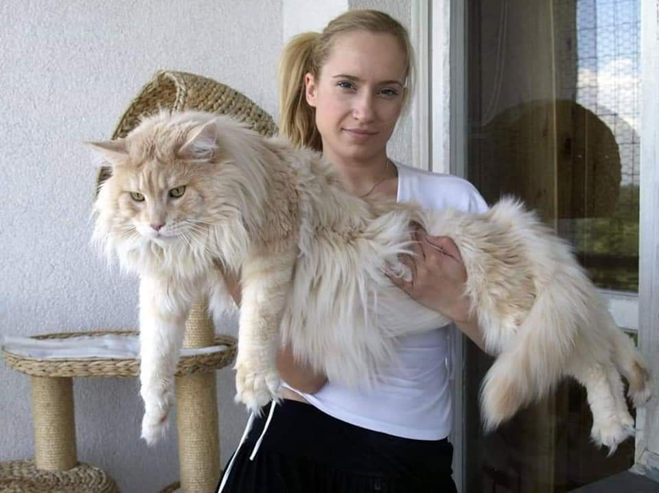 Gigantic Beautiful Cats