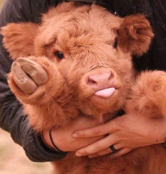 Adorable Highland Cattle Calves  (44 Pics)