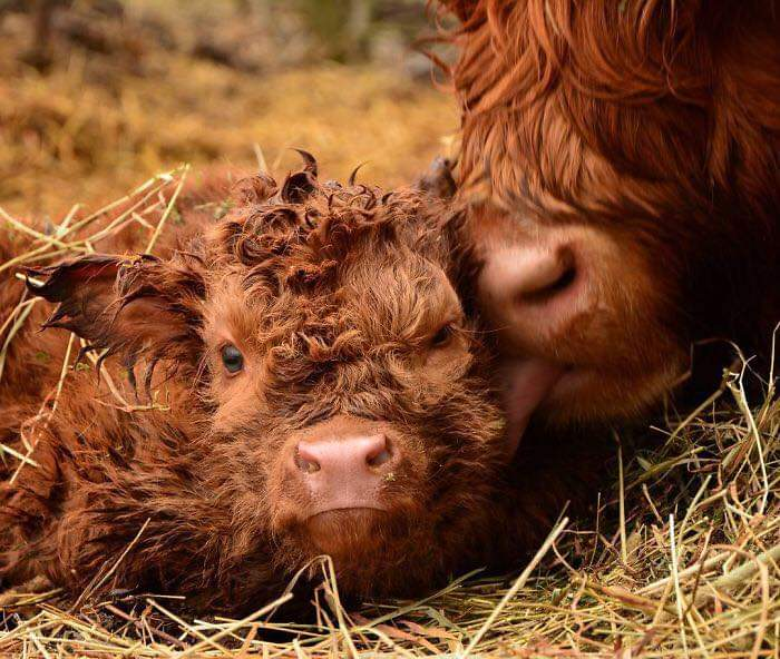 Adorable Highland Cattle Calves  (44 Pics)