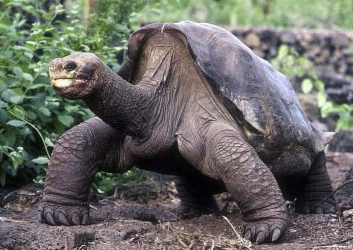 Over 100 years old Turtles, in the Galapagos Islands in Ecuador (10 Pics)