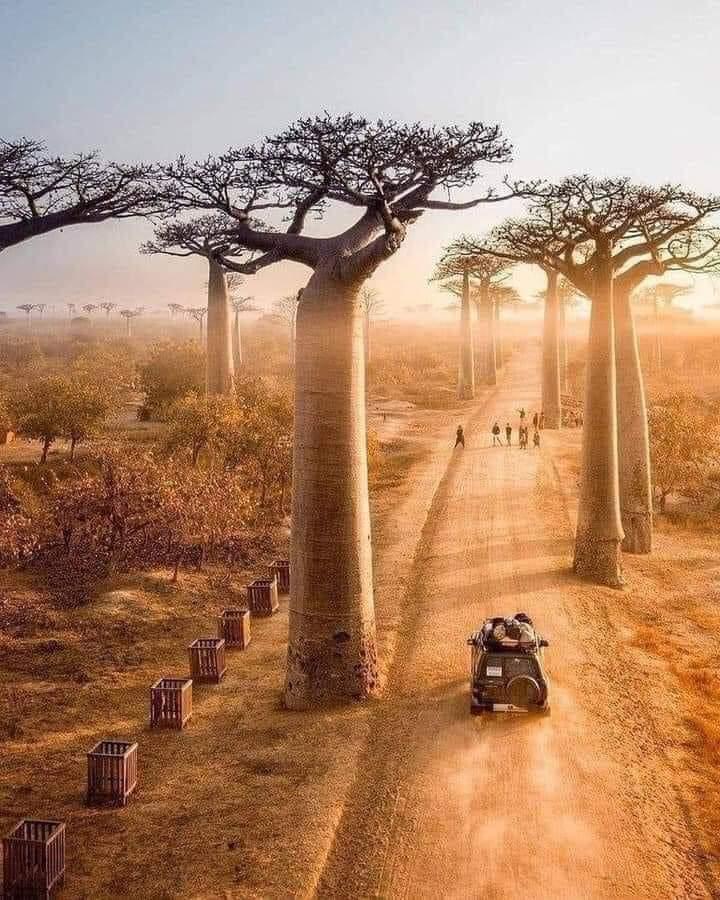 1Pic - Beautiful trees of Madagascar