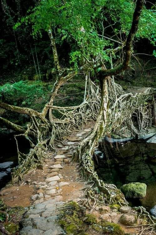 1Pic - The living bridges of Meghalaya, India are made from the roots of the Ficus elastica tree