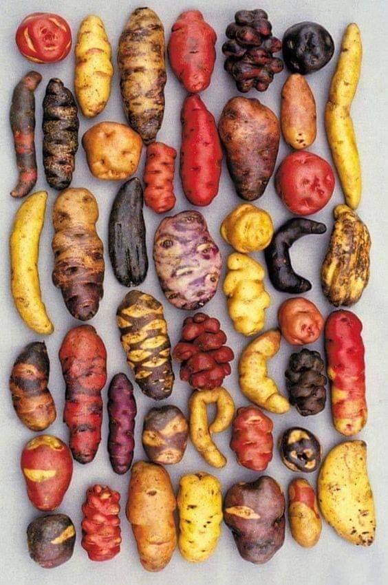 1Pic - Different varieties of potato grown in peru