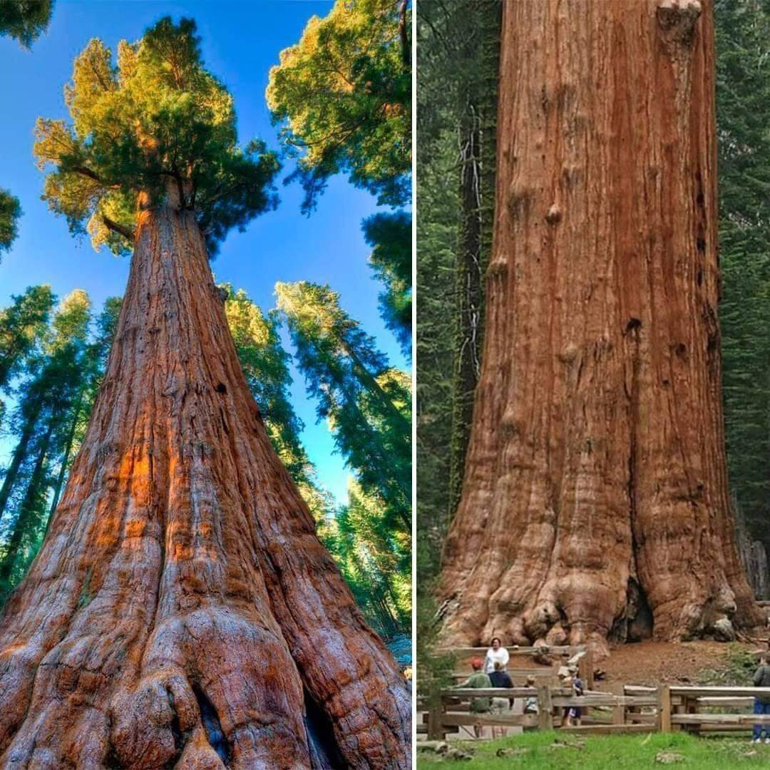1Pic - The General Sherman Tree, Location Giant Forest of Sequoia National Park in Tulare County, California, USA
