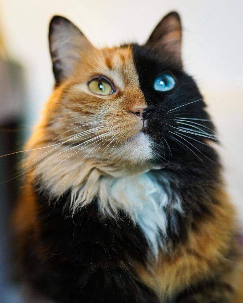 The Cat With 2 Color Eyes (11 Pics)