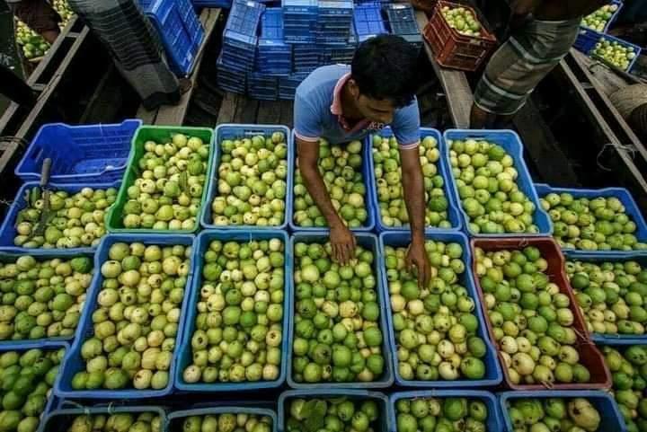 Guava Harvesting in Bangladesh