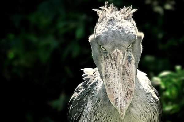 The Shoebill Stork stands at 5 feet tall, with an 8 foot wingspan (10 Pics)
