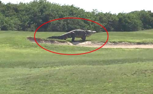 OMG - Jurassic-Sized Alligator Spotted in a Florida Golf Course