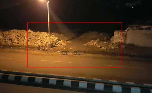 Watch: Eight Lions walking on Indian Road!