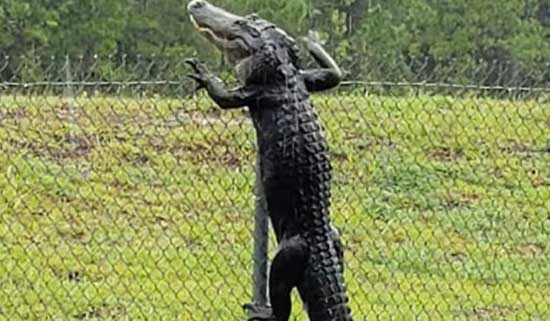 Caught On Camera | Alligator Jumping A Fence!