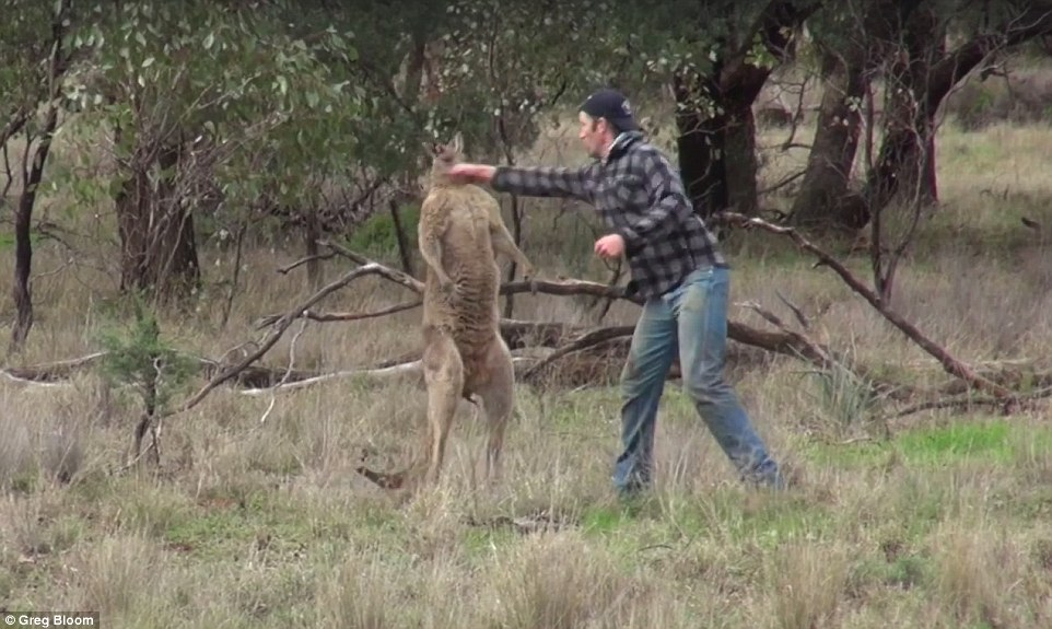 Man punches a kangaroo in the face
