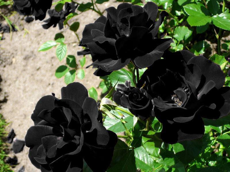 Unique Rare Black Rose - The Only Place Where It Can Be Found in Turkey (6 Pics)