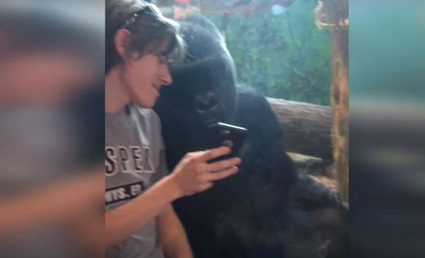 This Gorillas love smartphones as much as we do